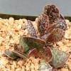 Adromischus puchellus